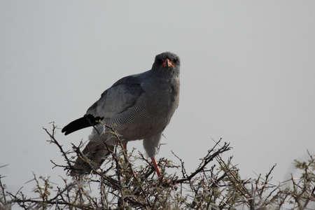 melierax: Dark Chanting Goshawk (Melierax metabates) in the Etosha National Park, Namibia