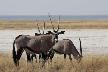 vastness: A group of Gemsbok (Oryx gazella) in the midday heat in the Etosha National Park, Namibia