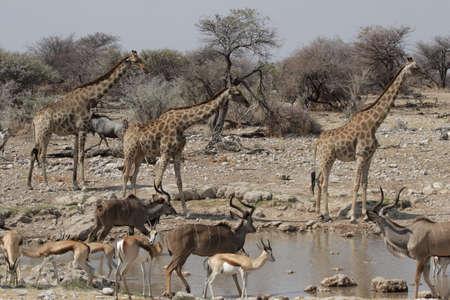 pozo de agua: Vida Silvestre en el abrevadero en el Parque Nacional de Etosha, Namibia Foto de archivo