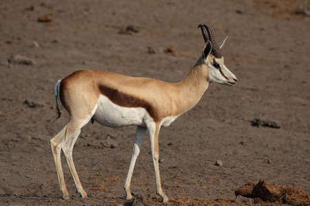antidorcas: Springbok (Antidorcas marsupialis) in the Etosha National Park, Namibia Stock Photo