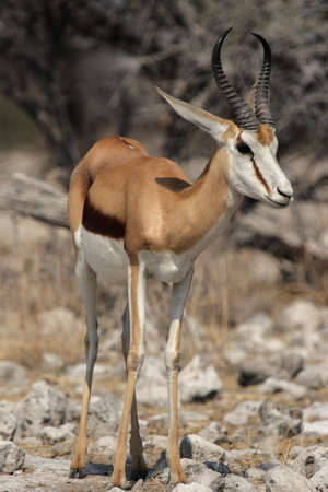 marsupialis: Springbok (Antidorcas marsupialis) in the Etosha National Park, Namibia Stock Photo