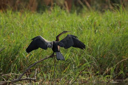 bird web footed: African Darter (Anhinga melanogaster rufa) spreads his wings to dry. Taken in the Okavango Delta, Botswana Stock Photo