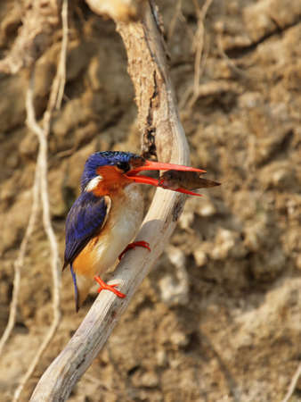 alcedo: Malachite Kingfisher (Alcedo cristata) swallowing a caught fish; Okavango Delta, Botswana. Stock Photo