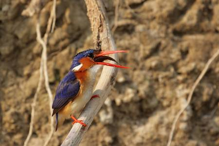 swallowing: Malachite Kingfisher (Alcedo cristata) swallowing a caught fish; Okavango Delta, Botswana. Stock Photo