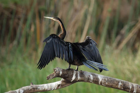 bird web footed: African Darter (Anhinga melanogaster rufa) spreads his wings to dry. Taken in the Okavango Delta, Botswana. Stock Photo