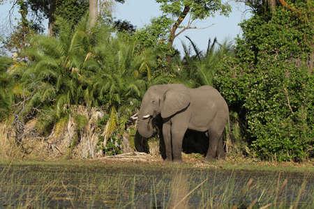 africana: Elephant (Loxodonta africana) in the Okavango Delta, Botswana.