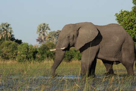 Okavango Delta: Elephant  (Loxodonta africana)in the Okavango Delta, Botswana.