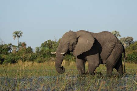 pachyderm: Elephant (Loxodonta africana) in the Okavango Delta, Botswana.