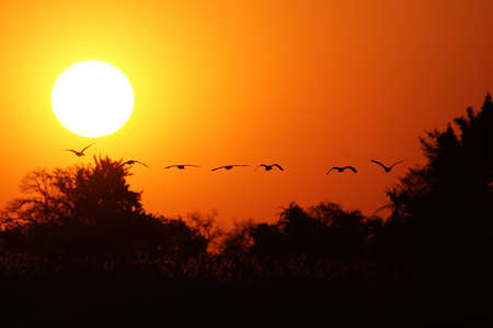 flying geese: A flock of geese fly into the setting sun over the Okavango Delta, Botswana.