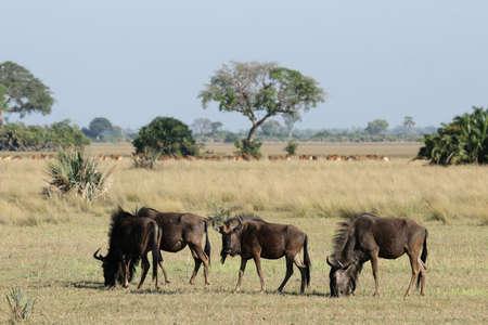 taurinus: Blue Wildebeest (Connochaetes taurinus) in the Okavango Delta, Botswana.