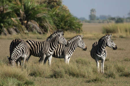 plains: Plains Zebra in the Okavango Delta, Botswana.