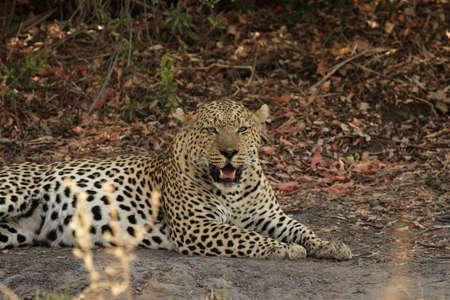 panthera pardus: Leopard (Panthera pardus) in the Okavango Delta, Botswana Stock Photo