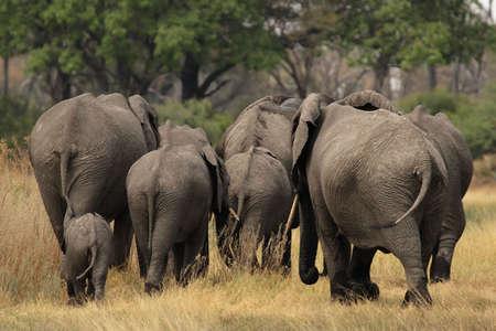Elephants (Loxodonta africana) in the Okavango Delta, Botswana. photo