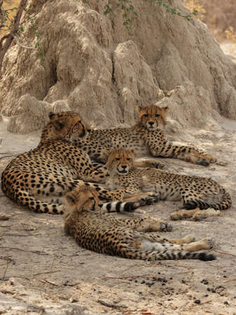 Cheetah family rests in the shadow of a termite mound in the Okavango Delta, Botswana. photo