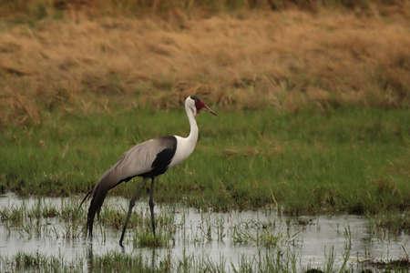 wattled: Wattled Crane (Bugeranus carunculatus) in the Okavango Delta, Botswana. Stock Photo
