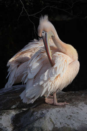 Pelican (Pelecanus onocrotalus) grooming his feathers Stock Photo - 4783220