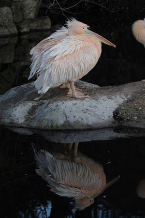 Pelican (Pelecanus onocrotalus) with reflection in the water Stock Photo - 4783505