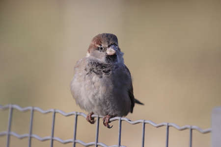 passer by: House Sparrow (Passer domesticus) sitting on a fence