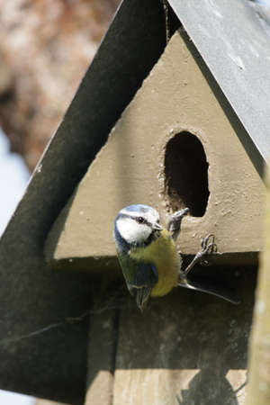 caeruleus: Blue Tit (Parus caeruleus) sitting on a nesting box.