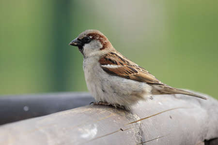 passer    by: Male House Sparrow (Passer domesticus) sitting on a wooden fence.