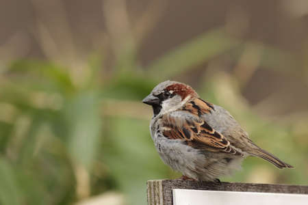 passer by: Male House Sparrow (Passer domesticus) in front of green background.