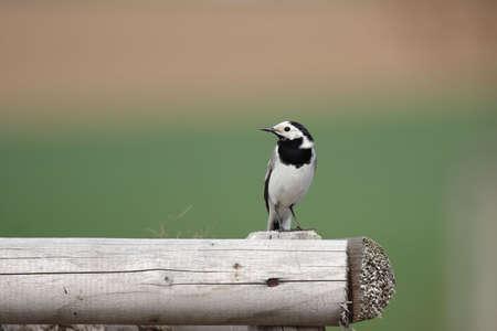motacilla: Wagtail blanca (Motacilla alba) sentado en una valla de madera. Foto de archivo