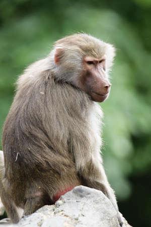 Hamadryas Baboon (Papio hamadryas) sitting on a rock. photo
