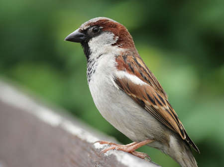 passer    by: Male House Sparrow (Passer domesticus) sitting on a fence.