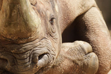 pachyderm: Close up of a Hook-lipped Rhinoceros (Diceros bicornis) relaxing on the ground.