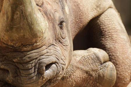 an ungulate: Primo piano di un gancio-Rhinoceros labbra (bicornis bicornis) rilassante sul terreno.