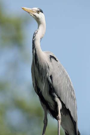 cinerea: Portrait of a Grey Heron (Ardea cinerea).