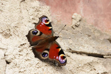 A European Peacock (Inachis io) sits in the sun on a brick wall. photo