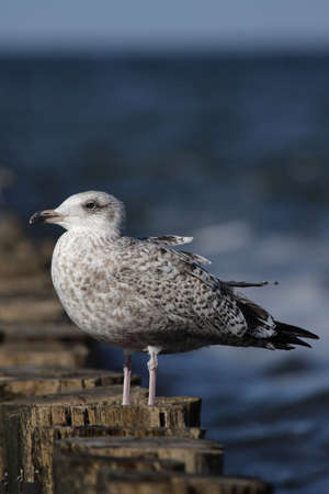 A juvenile Herring Gull (Larus argentatus) sitting on a wooden jetty at the beach of the Baltic Sea. Stock Photo - 5733636