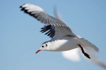 larus ridibundus: Black-headed Gull (Larus ridibundus) in flight.