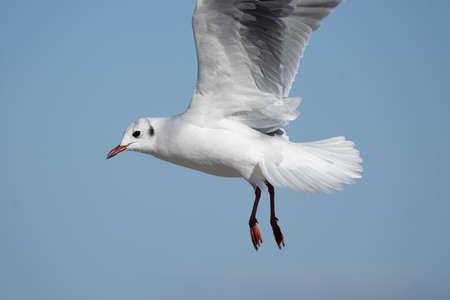 ridibundus: Black-headed Gull (Larus ridibundus) in flight.