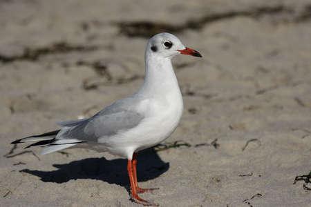 ridibundus: Black-headed Gull (Larus ridibundus) sitting at the beach of the Baltic Sea.