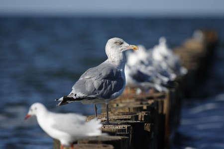 larus ridibundus: Herring Gull (Larus argentatus) and Black-headed Gulls (Larus ridibundus) sitting on a wooden jetty at the beach of the Baltic Sea. Stock Photo