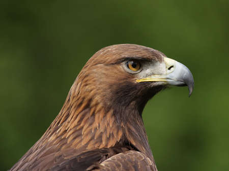 Portrait of a Golden Eagle (Aquila chrysaetos). photo