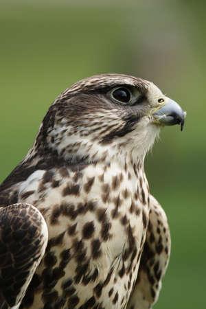 cherrug: Portrait of a Saker Falcon (Falco cherrug).