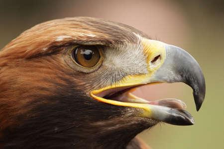 chrysaetos: Portrait of a Golden Eagle (Aquila chrysaetos).