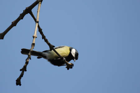Great Tit (Parus major) sitting on a branch. photo
