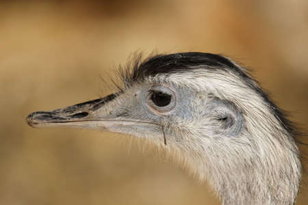 rhea: Portrait of a Greater Rhea (Rhea americana).