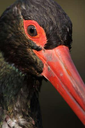 black stork: Retrato de una cig�e�a negra (Ciconia nigra).