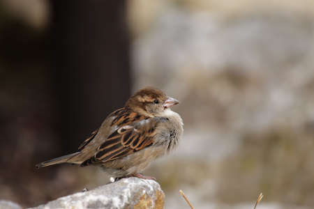 passer by: Female House Sparrow (Passer domesticus) sitting on a rock.