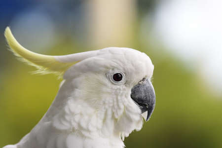 Sulphur-crested Cockatoo (Cacatua galerita) in Australia. photo