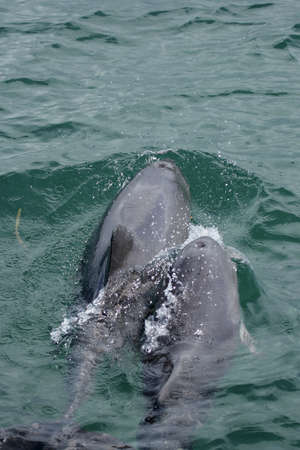 chinensis: Two Chinese white dolphins (Sousa chinensis) swimming in the sea in Australia