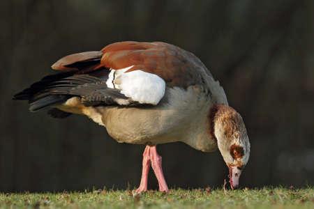 Egyptian Goose (Alopochen aegyptiacus) sitting on a meadow. photo