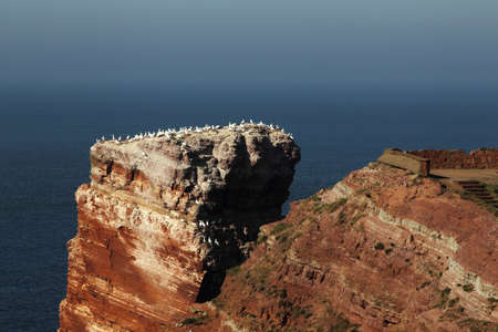 Colony of Northern Gannets on top auf the Tall Anna on Heligoland. photo