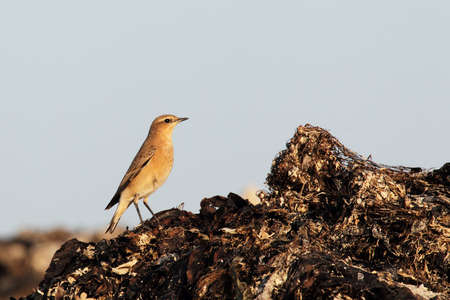 Northern Wheatear (Oenanthe oenanthe) on the beach in Heligoland. photo