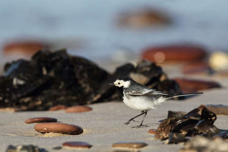 White Wagtail (Motacilla alba) on the beach of Heligoland. photo